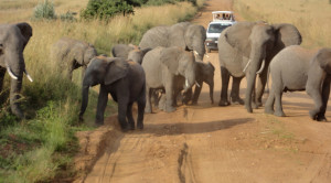 elephants in the road