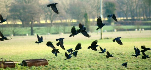 A murder of crows by Micolo J