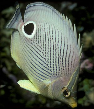 fish-automimic