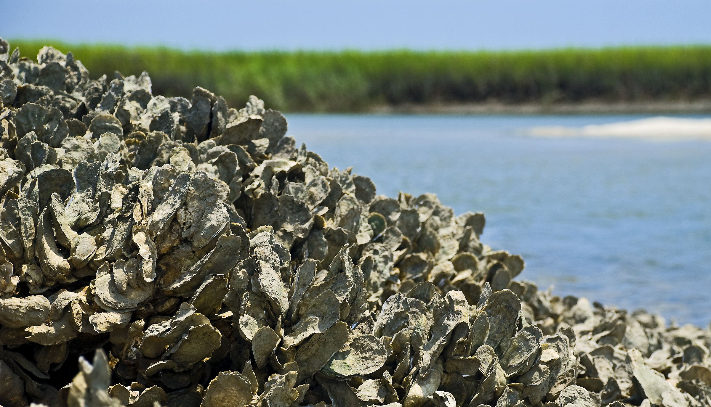 Natural Oyster Reef Oyster-tecture - 99% I...