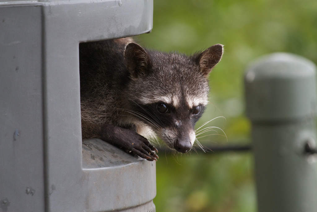Raccoon Resistance 99 Invisible